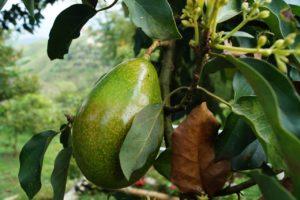 Frutos del árbol del aguacate