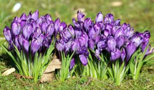 Muchas flores de Azafrán