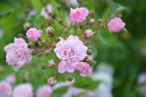 Rosas rosas rosal
