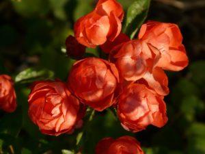 Pálidas flores rosas rojas