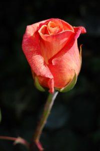 rosa marchitandose